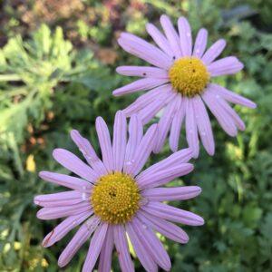 Chrysanthemum - Chrysant
