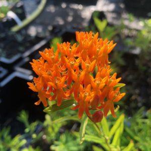 Asclepias - Zijdeplant