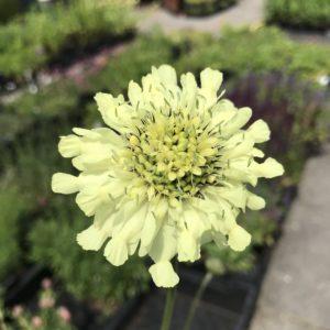 Cephalaria - Schoepkruid, Reuzenscabiosa